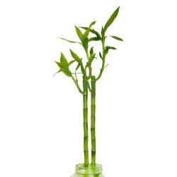 Bambou - port droit