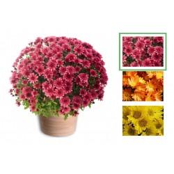Chrysanthème à petites fleurs